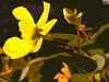 yellowspotc
