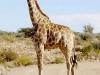 giraphore