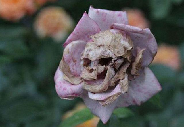 rosemort