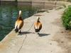 strolling_ducks_by_mirator
