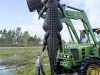 alligator450