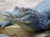 crocodile2